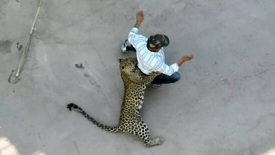 Chaos erupted in west-central India when a leopard entered a Palher Nagar compound and attacked some residents. Watch as people arm themselves with sticks to try and scare off the big cat.