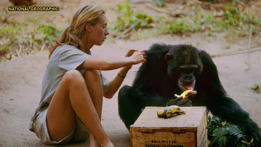 British primatologist Jane Goodall discusses why she was hesitant to appear in yet another film about how she left behind everything she knew in England to study chimpanzees in the wild of Africa in 1960.