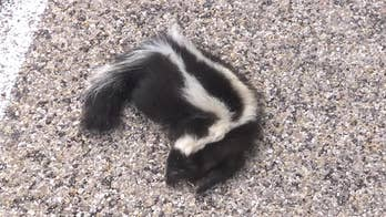 Hagerman, New Mexico, a small town in the state's southeast, has a yearly visit from skunks and rattlesnakes that come looking for food.