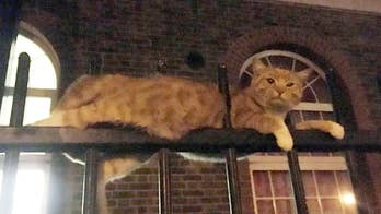 Warning: This video contains graphic images. A cat was rescued by firefighters after being pierced through the spikes of two eight-foot tall railings outside an apartment building in North West London.