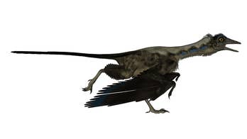 The question as to whether the Jurassic-era Archaeopteryx was able to fly has long baffled paleontologists. Now, new research may have unveiled the answer.