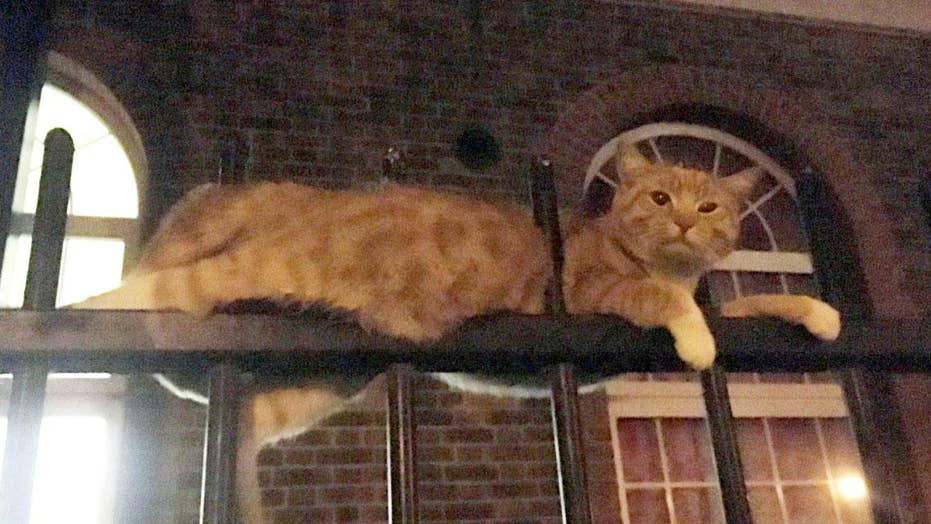 Graphic video: Miracle cat impaled on fence survives