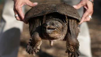 An Idaho science teacher at Preston Junior High has been accused of feeding a baby puppy to a snapping turtle during a class demonstration. The Franklin County Sheriff's Department is investigating.