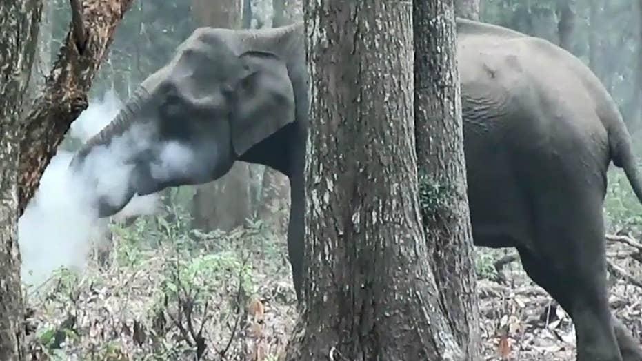 WILD video: Smoke-breathing elephant caught on camera