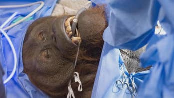 Groundbreaking operation helped clear up problem with help from an ear, nose and throat doctor who had never worked on animals.