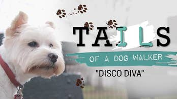 Tails of a dog walker: Meet Aretha, the West Highland Terrier who hates walks