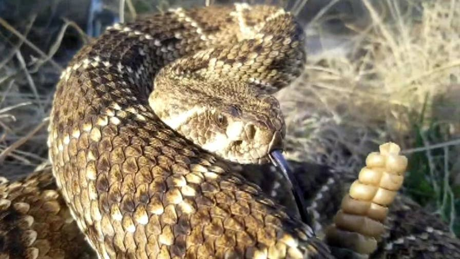 An Oklahoma man who captured a 6-foot rattlesnake suffered a heart attack 20 minutes after the hunt.