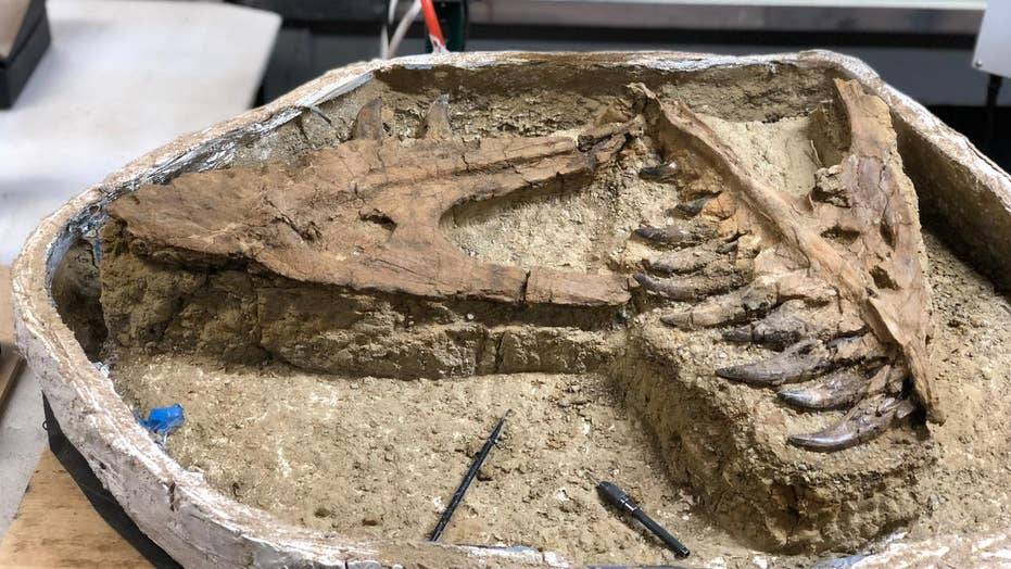 'Baby' tyrannosaur fossil unearthed in Montana
