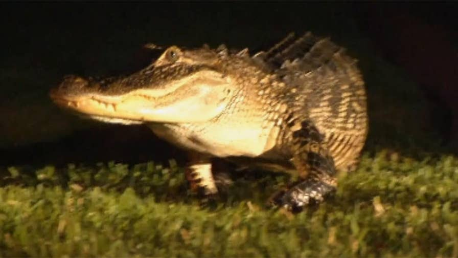 Raw video: Florida family calls cops after 7-foot alligator banging on their gate wakes them up.