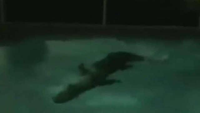 Alligator Takes A Midnight Swim In Florida Pool On Air Videos Fox News
