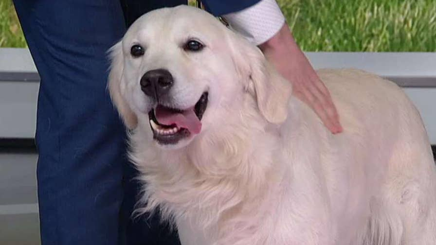 Labrador Retriever is the most popular dog breed in America.