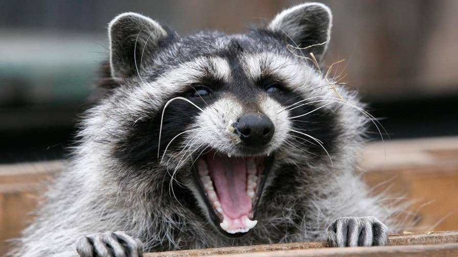 Raccoons are approaching humans, baring their teeth and passing out in Youngstown, Ohio. They strange behavior has led to the euthanizing of over a dozen raccoons who seem to be suffering from a virus.