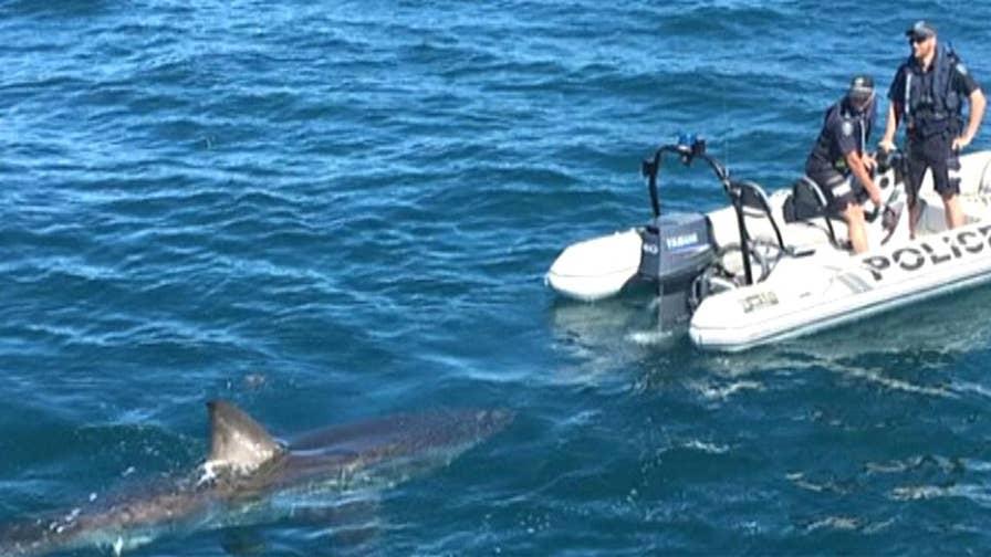 Massive shark circles South Australia Police boat on patrol at Tapley Shoal off the coast of Australia.