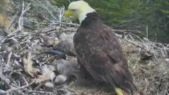 Three eagle chicks were rattled in their treetop nest on the Channel Islands after a 5.3 magnitude earthquake.