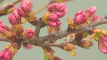 Each spring, thousands of tourists and Washington residents alike flock to the D.C. tidal basin in hopes of catching the Yoshino cherry trees at peak bloom, defined by the National Park Service as when 70 of the trees are fully blossomed. A lot is riding on horticulturist Michael Stachowicz's forecast.