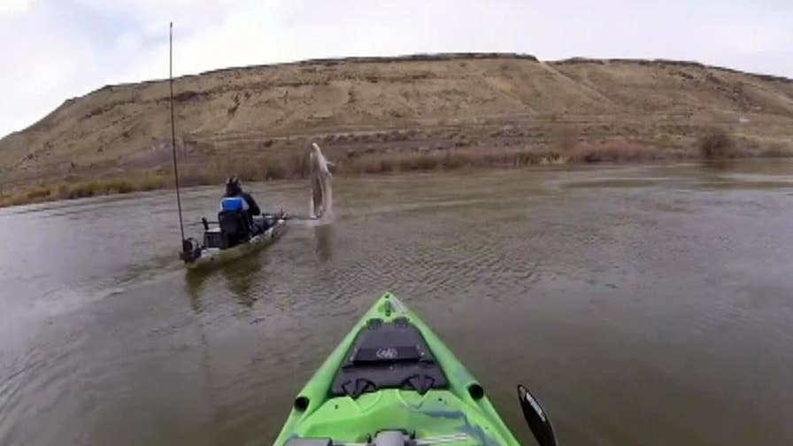 Kayaker captures sturgeon breach that almost sinks boat on Snake River in Idaho.