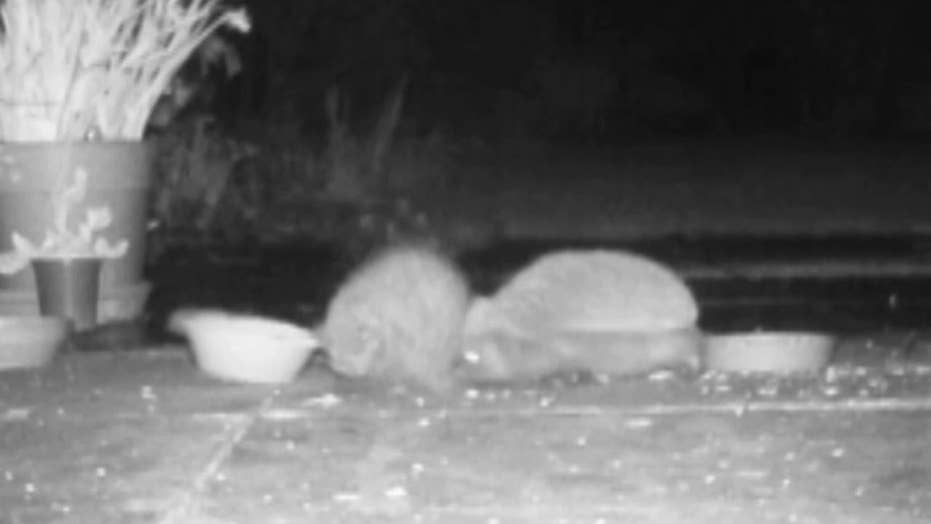 Hedgehogs fight after waking up from hibernation in England