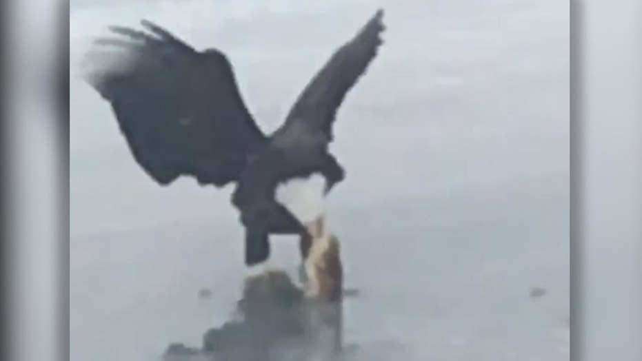 Nice catch! Bald eagle appears to pull fish from frozen pond