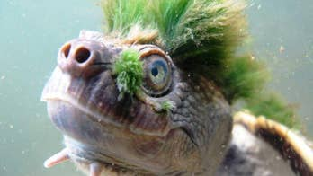 While striking in both appearance and ability, the Mary River turtle may not be the next Teenage Mutant Ninja Turtle, but it is now one of the most endangered species on the planet.