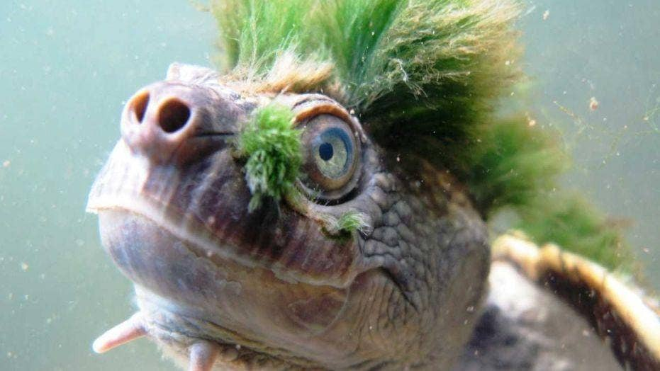 The next Ninja Turtle? Green-haired turtle added to endangered species list