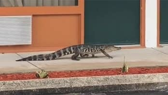 Raw video: Deputies called to Quality Inn in Sebring, Florida after an alligator was seen walking about; licensed trapper cornered the reptile and took it away.
