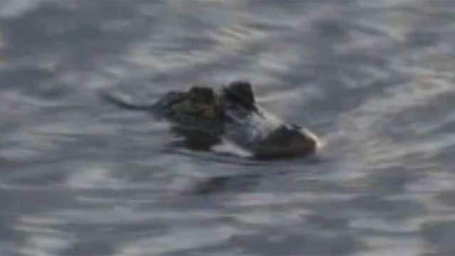 Alligator reportedly spotted in Northern California
