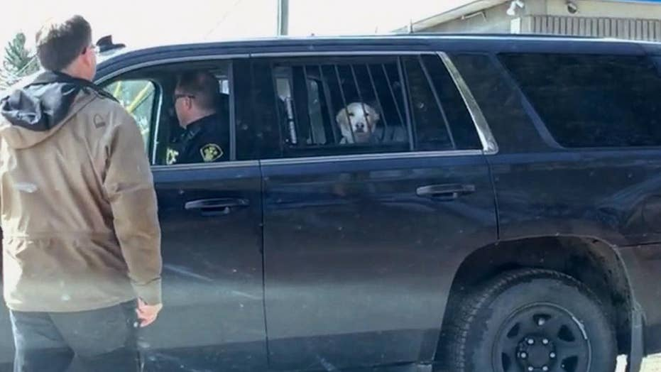 Hilarious: A 'bad' dog was detained in cop car after chasing a deer