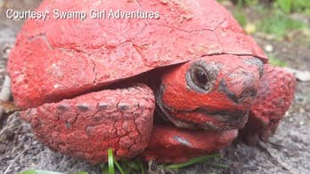 A gopher tortoise was found in Florida covered in red paint and concrete. Florida Fish and Wildlife Conservation Commission officers are looking for the people responsible.