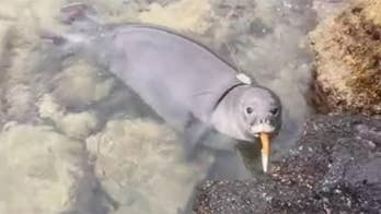 Raw video: Hawaii Department of Land and Natural Resources warns people to properly discard trash after monk seal pup was filmed playing with knife.