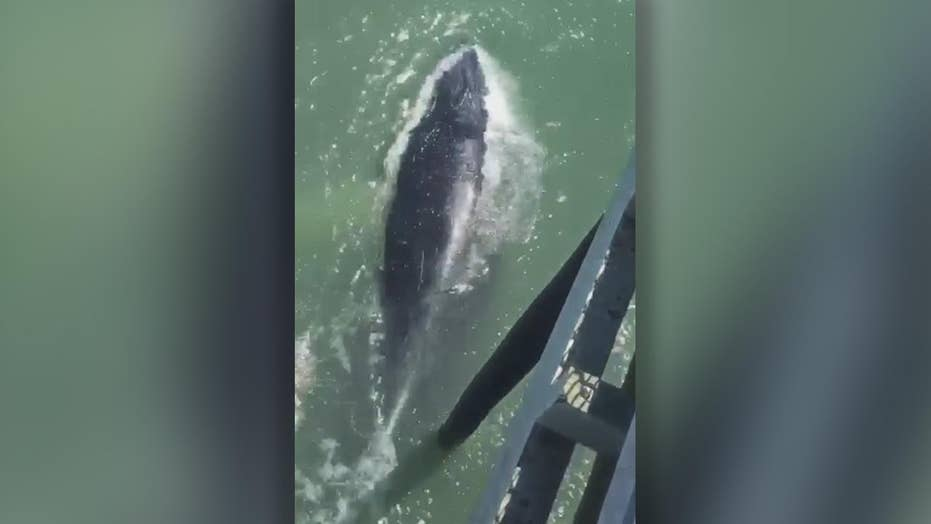 Huge whale bumps pier shocking visitors on fishing trip