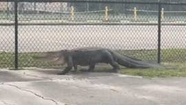 A 10-foot alligator that took a stroll near a middle school in Florida stopped traffic in Deltona, according to a local news report.