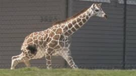 A 7-month-old female giraffe at an Indiana zoo briefly escaped her enclosure on Monday.