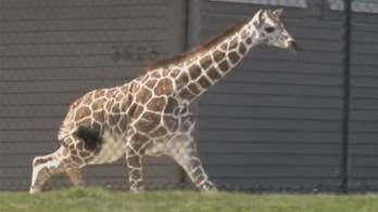 Raw video: Workers attempt to catch giraffe that escaped its enclosure at Fort Wayne Children's Zoo.