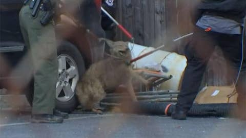 Philadelphia cops capture coyote after two hour pursuit