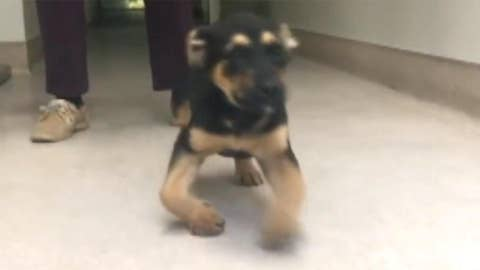 Bow-legged puppy finds home