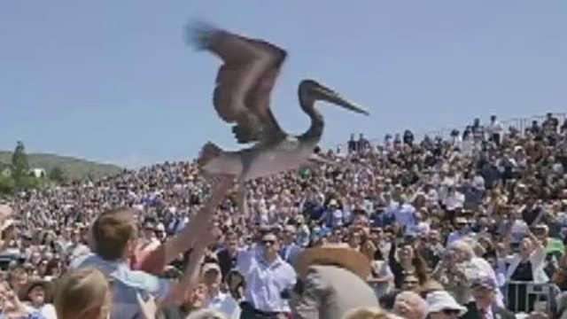 Pelicans crash Pepperdine's graduation ceremony