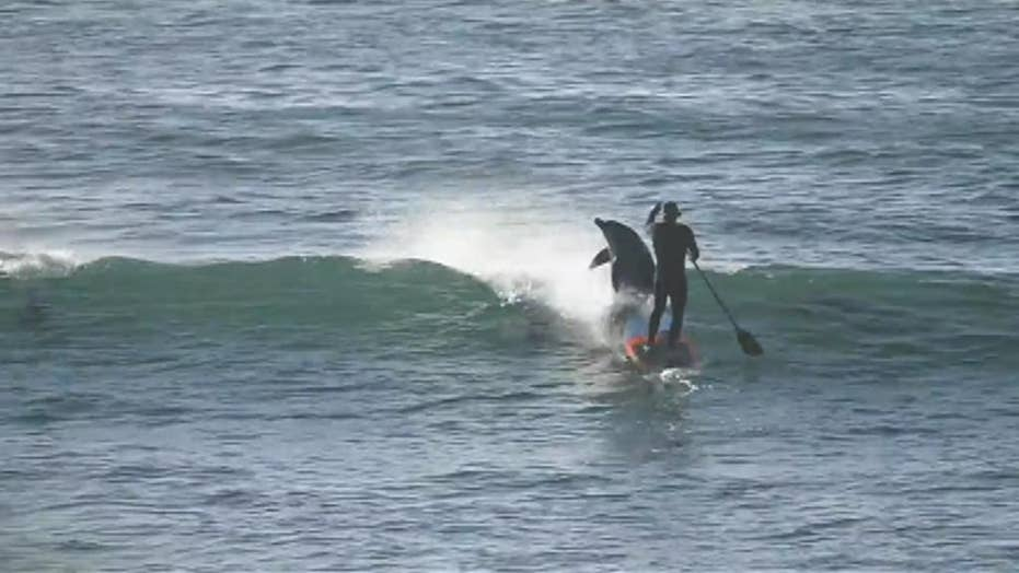 WATCH: Dolphin greets paddle boarder with a friendly bump