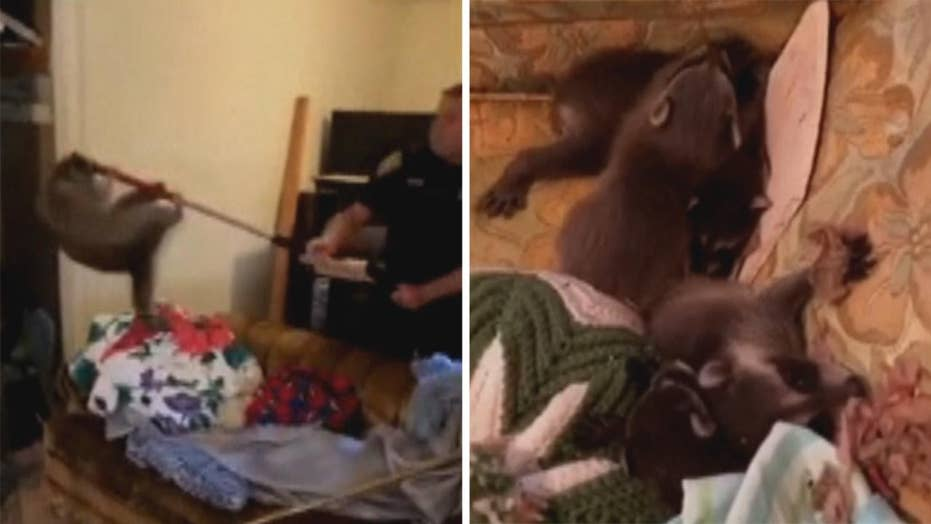 Raccoons fall through roof into home, cause chaos