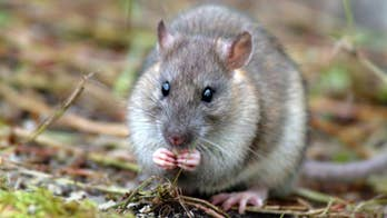 Crews have officially rid a South Georgia, a UK overseas territory, of rats. Rodents were introduced to the island as stowaways in the late 18th century and have been wreaking havoc on its ecosystem since.