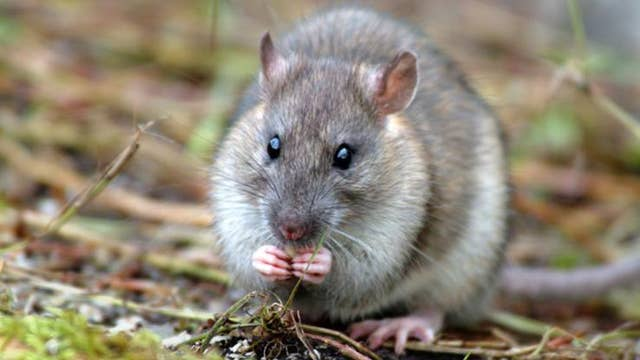 UK territory officially 'rat-free'
