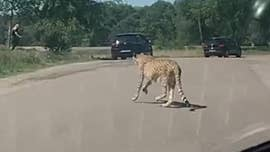 A French family managed to escape a coalition of hungry cheetahs unscathed after the tourists exited their vehicle to snap pictures of the wild animals— and the heart-stopping moment was caught on tape.