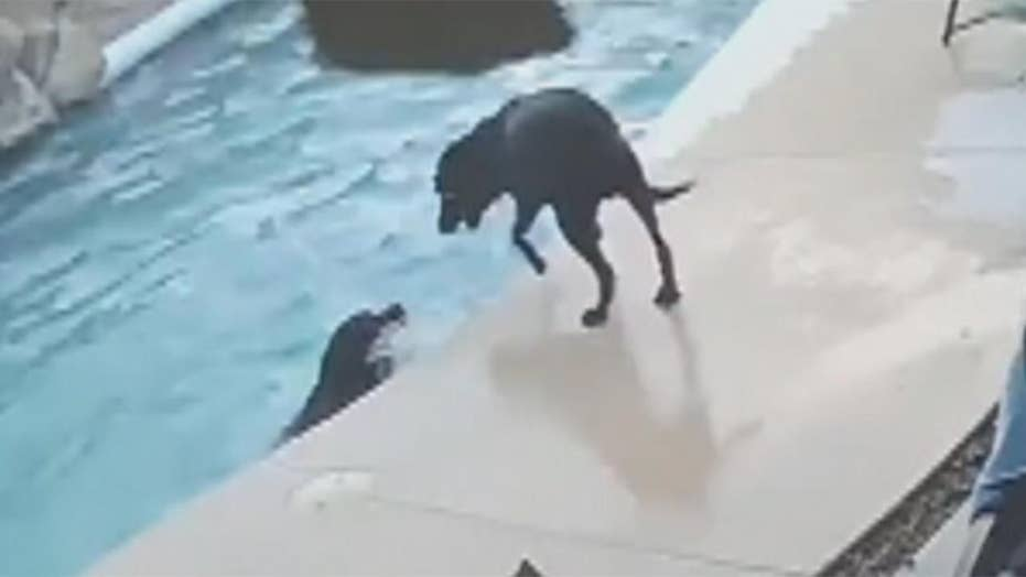 Dog saves his friend from drowning in pool