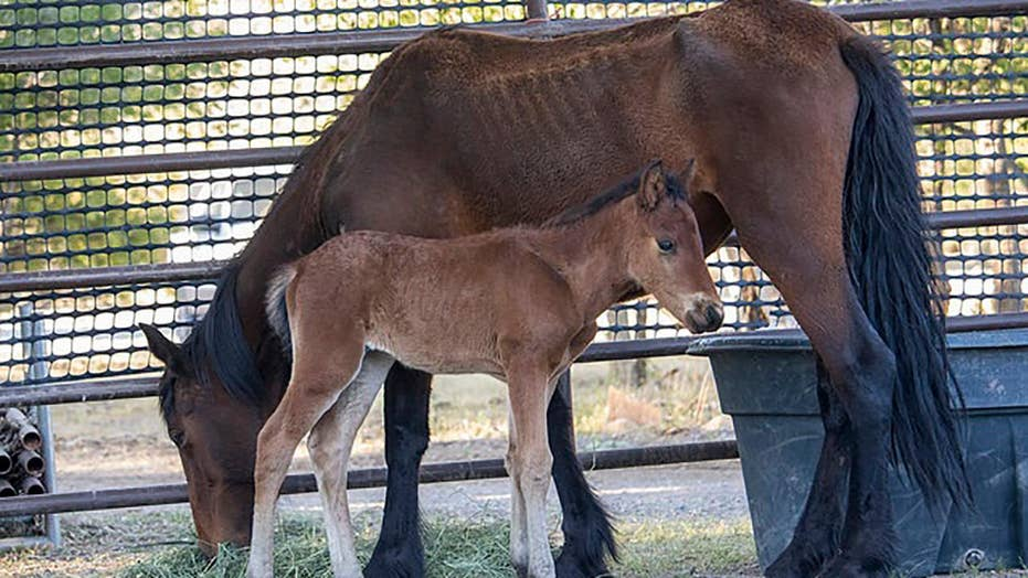 Wild horses are rounded up in Nevada to prevent die-off