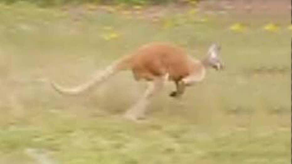 Escaped kangaroo causes a stir on South Carolina highway
