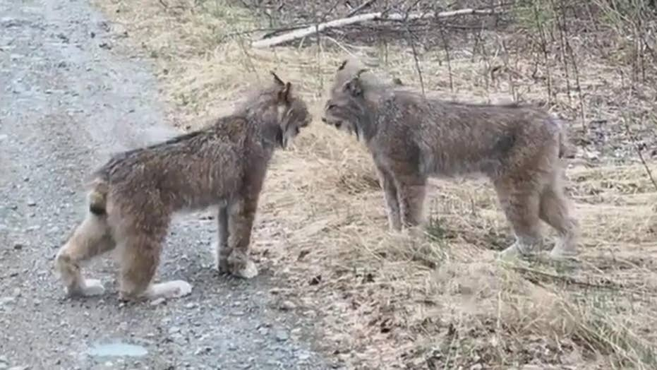 WILD video: Watch lynxes scream at each other