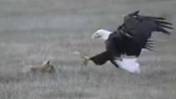Eagle swoops down and grabs a fox that had just killed a rabbit.