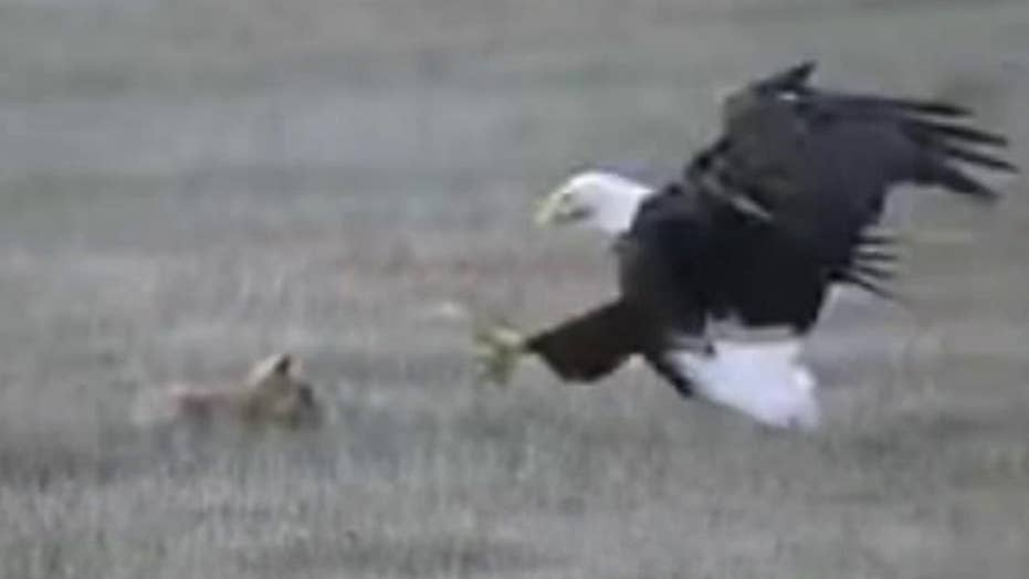 Raw video: Bald eagle snatches a fox holding a rabbit