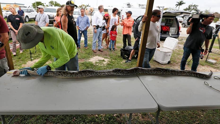 Snake hunters battle python invasion in Florida