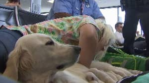 Service dog waiting to board a flight at the Tampa airport welcomes a litter of puppies.