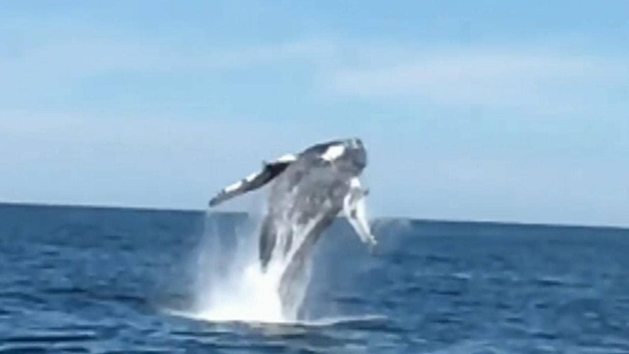 whales breathtaking 360 degree breach spin off new jersey coast captured on video fox news - Picture Of A Whale